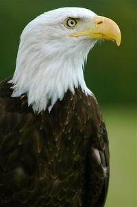 Bald%20Eagle - Eagle Island (a poem on patriotism and freedom)