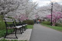 Cherry Blossom in Branch Brook Park%2C NJ   2012 - Existential Roundup