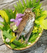 Dead%20Song%20Thrush%20in%20basket - Funerals are for the birds