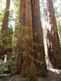 Sequoia sempervirens Armstrong3%20wiki - Of Redwoods and Suffering