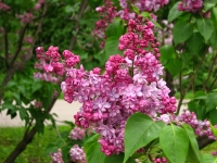 Syringa %27Montaigne%27 01 - Poetic Reflection